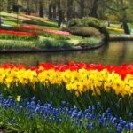 Daffodils, bluebells and tulips next to a stream